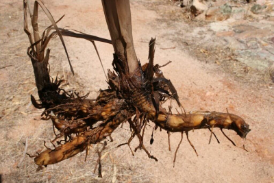 Typha root - (CC) Antropology from the shed