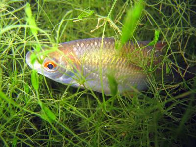 Rutilus Rutilus (CC) Tierwelt