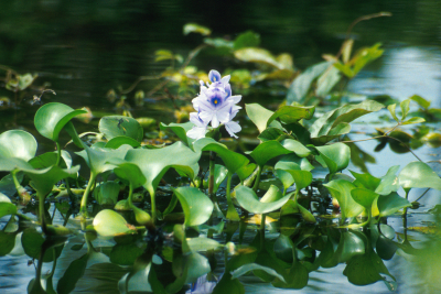 water hyacinth (Eichhornia crassipes) Wikimedia Commons